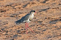 Crowned Lapwing (Vanellus coronatus)   (Mikhail & Yana) Tags: kenya samburunationalpark bird birdsofkenya crownedlapwing vanelluscoronatus  lapwing