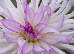 Whirls o' Pinks (Synapped) Tags: approved dahlia pink white crop close macro