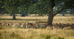 149/366 The Wild Plains of Sussex (andrew.varney) Tags: animals deer d5100 nikon nature nationaltrust outdoors outside 365 366 westsussex sussex fallowdeer wildlife uk england
