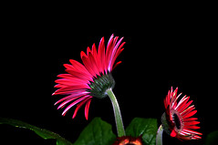 DSC_0020_020 Gerbera (tsuping.liu) Tags: outdoor organicpatttern blackbackground bright blooming red redblack nature natureselegantshots naturesfinest plant petal photoborder perspective pattern passion photographt flower