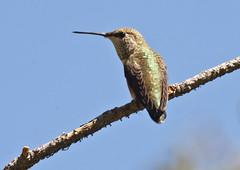 Broad-tailed Hummingbird (Selasphorus platycercus); Santa Fe National Forest; NM Thompson Ridge [Lou Feltz] (deserttoad) Tags: birdwildbirdwildlifenature nationalforest mountain hummingbird flower bloom behavior