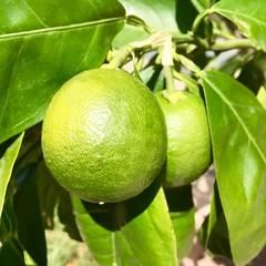 Citrus, 8/14/16 (f l a m i n g o) Tags: 20130 citrus