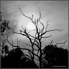 For Gabriele (Ferruccio Zanone) Tags: bianco nero contrasto albero cielo luce rami sole luna