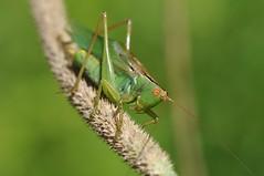 katydid (ladybugdiscovery) Tags: katydid insect meadow green macro dof bokeh