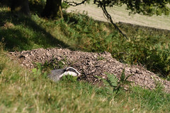 Badger in Sunshine:  And please stop the cull. (Tim Melling) Tags: badger melesmeles south yorkshire peak district timmelling daylight sunshine emerging sett