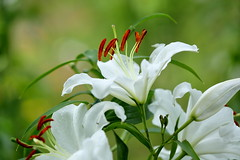 casablanca (cate) Tags: casablanca lily white summer