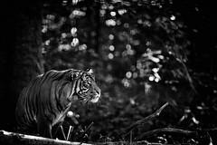 beautiful and dangerous (rondoudou87) Tags: tigre tiger monochrome blackwhite noiretblanc noir black blanc pentax k1 wild wildlife nature zoo sumatra sumatrantiger aficionados allnaturesparadise