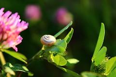 Sunlight (Nathalie_Dsire) Tags: snail macro closeup nature bokeh meadow clover pink little green flower blossom canoneos600d elegance summer august sunlight daylight sun warm
