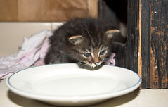 Milky Kitty 2 (dblees) Tags: cat gato chat kitty  koka kat kissa katze gatto kot pisic maka katt  kedi con mo       gata