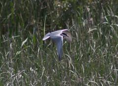 Whiskered Tern - Lake Skadar - 160609-08 (mwiddo) Tags: lake skadar whiskered tern bird