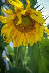 Sunflower (judy dean) Tags: judydean 2016 sonya6000 sunflower