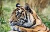 Chester Zoo: Sumatran Tiger (Adrian.W) Tags: bigcat flickrbigcats cat feline predator fur endangered chester chesterzoo nikon d5200 70300mm tiger sumatrantiger stripes