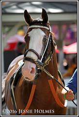 South Sea (Spruceton Spook) Tags: saratoga horseracing horses maidens