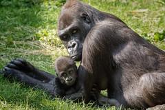 Mama und Tochter (SandyLee.Munro) Tags: gorilla menschenaffe ape affe natur tier nature sugetier zoo duisburg