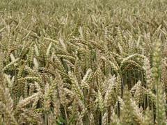 Weizen (elisabeth.mcghee) Tags: weizen wheat weizenfeld wheatfield
