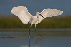 Sunrise Stretching (PeterBrannon) Tags: bird egrettathula florida nature sarasota snowyegret wadingbird wildlife wings morning solitude sunrise