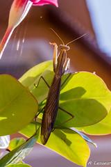La Mante en contre-jour (Shoot Enraw) Tags: macro mantereligieuse insecte carnassier contrejour brune cuivre