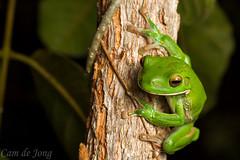 Litoria infrafrenata (Cameron de Jong) Tags: whitelip whitelipped treefrog tree flash night green vibrant litoria infrafrenata hylidae queensland australia