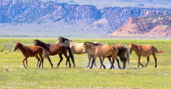 Wild Horses Of The Eastern Sierra (Mimi Ditchie) Tags: horse horses mustangs wildhorses easternsierra getty gettyimages mimiditchie mimiditchiephotography