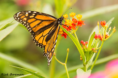 Monarch Butterfly IMG_0986 (RBs pics) Tags: america action bokeh backyard butterfly monarchbutterfly canon color colour day eos flower green insects insect wildlife motion nature naturallight outdoors outside pa pennsylvania photography purelynature usa