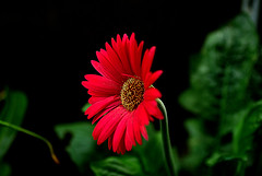 IMGP5714 Gerbera (tsuping.liu) Tags: nature naturesfinest natureselegantshots nationalgeographic blackbackground bright blooming plant petal photoborder perspective pattern passion photographt red redblack
