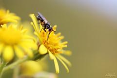 Conopide (Mariie76) Tags: animaux insectes petit mouche conopide macrophotographie macro noir yeux rouges pattes oranges fleur jaune tamines ptales nature soleil chaleur t