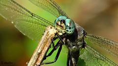 Bugeyed (Suzanham) Tags: dragonfly eyes insect bug odonata nature anisoptera wildlife mississippi eye wings macro noxubeewildliferefuge