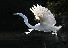 Egret in Flight (dbullens) Tags: floridakeys wildlife egret tavernier birds donbullens aquaticbirds bird backlit