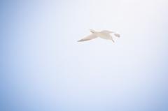 (J. Casals) Tags: espaa bird contraluz island spain seagull flight ave mallorca isla gaviota vuelo
