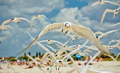 seagull (terns) flock taking flight (megscapturedtreasures) Tags: seagulls beach birds coast wings sand colorful seagull flock flight taking flapping soe terns midflight greatphotographers flickraward thechallengefactory flickraward5 flickrawardgallery