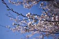 IMGP6874 (Amad) Tags: flower japan spring   sakura kiryu
