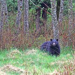 Bear Stare (Peggy Collins) Tags: bear canada forest interestingness woods britishcolumbia explore stare staring sunshinecoast blackbear alders bearstare bearpictures peggycollins paciricnorthwest