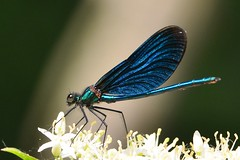 Blauflgel Prachtlibelle (Calopteryx Virgo) Male 8388 (fotoflick65) Tags: blue detail macro male beautiful closeup bug insect wings dragonfly wing demoiselle blau makro libelle insekt f8 damselfly 32 nahaufnahme odonata flgel beautifuldemoiselle calopteryxvirgo iso500 kleinlibelle prachtlibelle fl200 blauflgelprachtlibelle iso400800 tamronspaf70200mmf28dildifmacro d7000 st500 blauflgel y2012 fl150200 st400800 fotoflick65 ta70200 ym06
