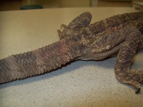 Leopard Gecko Healthy Tail