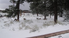Herd of deer (howsmystockdoing) Tags: grandcanyon sedona painteddesert flagstaff coloradoriver laughlin oakcreekcanyon bullheadcity grandcanyonvillage horseshoebend navajonation camerontradingpost eltovarlodge aquariuscasino junipineresort