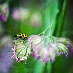 """269/365 """"Spotted Cucumber Beetle"""" (Beth Duri) Tags: macro texture yellow photoshop canon bug artistic beetle spotted cucumberbeetle sigma105mm 60d yellowspottedbeetle bethduri"""