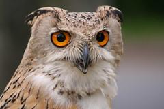Owl (tonypreece) Tags: school bird fun golden day jubilee first east owl prey bierley