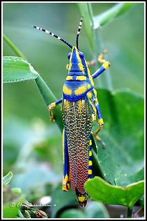 2213 painted grasshopper-