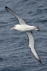 010011.2-IMG_1975 White-capped (Shy) Albatross (Thalassarche [cauta] steadi) (ajmatthehiddenhouse) Tags: bird 2012 steadi shyalbatross thalassarchecauta thalassarche cauta whitecappedalbatross thalassarchesteadi thalassarchecautasteadi wpo2012 tfowb