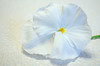 Pansy on a Paper Towel (Sue@Sea) Tags: white green yellow nikon pansy nikkor lowcontrast 1855mmf3556gvr d5100