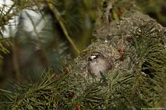 Bushtit emerging from it's nest (JSB PHOTOGRAPHS) Tags: park bird oregon spring butte nest wildlife eugene skinner emerging 2012 bushtit dsc0440 nestbiulding