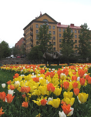 tulips in the city (Per Ola Wiberg ~ powi is back) Tags: tulips sweden stockholm may harmony wma 2012 vanadisplan maj musictomyeyes aclass beautifulflowers vasastan friendsforever coolshot freeshot photopassion photogarden flowersarebeautiful heartawards goldstaraward worldofflowers peaceawards thebestshot gününeniyisithebestofday vanagrammofon theflowerbasket creativeyeuniverse addictedtonature addictedtoflower flickrsgottalent ₪naturesanctuary₪ ♥♥2heartsaward♥♥ ♥worldphotography♥ ☼☼☼hellofriend☼☼☼