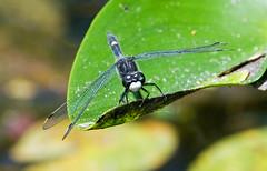 Dot-tailed Whiteface (Leucorrhinia intacta) (monon738) Tags: macro nature closeup bug insect wings pentax dragonfly indiana dot 300mm tailed odonata libellulidae leucorrhinia leucorrhiniaintacta dottailedwhiteface k20d smcpda300mmf40edifsdm dottailedwhitefacedragonfly tricountyfishandwildlifearea