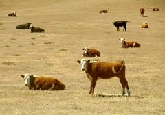 JKN©-BW-0854 (John Nakata) Tags: ranch cattle beef grazing ranching californiavalley temblorrange carrizoplainnationalmonument bw10 spacedoutcows