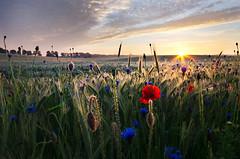 Wheat, poppies and cornflowers vol.1 (warmianaturalnie) Tags: morning sun green field sunrise landscape corn wheat meadow poland poppy poppies rays cornflower warmia