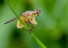 IMG_0138 Yellow Dung Fly (Scathophaga stercoraria), Brandon Marsh, Warwickshire 12June12 (Lathers) Tags: brandon warwickshire yellowdungfly scathophagastercoraria brandonmarsh canon7d canonef100f28lisusm wkwt 12june12