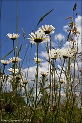 If I were an ant... (Marjo1963) Tags: flowers summer sky lucht bloemen margrieten 062012