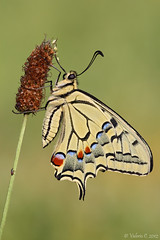 Papilio machaon  (ValeCrio) Tags: