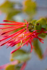 (Cheo Tam) Tags: chile flores flower macro canon flora flor botánica 30d cheo florachilena estambres quintral parásito tristerix proyecto366 366project cheotam hemiparásito
