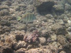 Kauia Day 2-62 (djfrantic) Tags: hawaii snorkeling kauai poipu aloha hanalei summervacation kilauea kee mahalo kapaa familyvacation princeville lihue kalaheo hanapepe gardenisle nukumoi